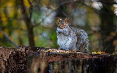 Les animaux du Canada – L'écureuil et le raton laveur