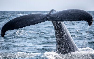Les animaux du Canada – Les baleines